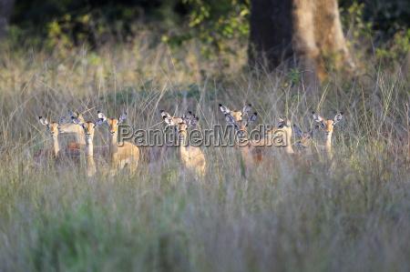 impalas schwarzfersenantilopen aepyceros melampus rudel weibchen