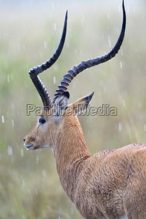 impalablack heel antelopeaepyceros melampusmales standing in