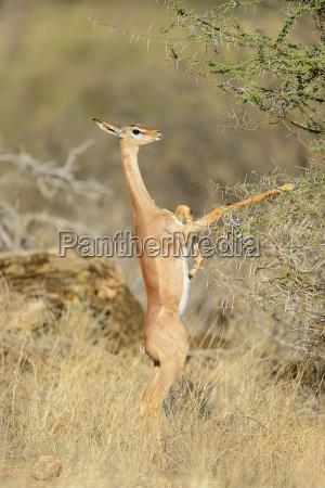 gerenuk giraffe gazelle litocranius walleri female