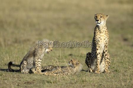 cheetahacinonyx jubatusfemale with young animalsmasai mara