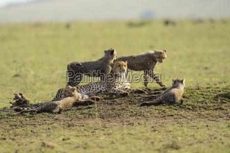 cheetah acinonyx jubatus cheetah family four