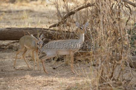 kirk dikdikmadoqua kirkiismall antelopemale examines the
