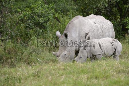 wide mouthed rhino ceratotherium simum female