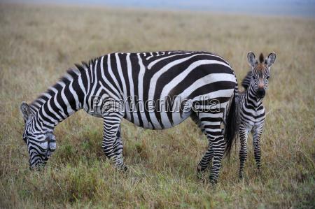 steppenzebras equus guagga muttertier mit ihrem
