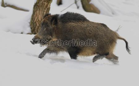 wildschwein sus scrofa wildschwein luft durch
