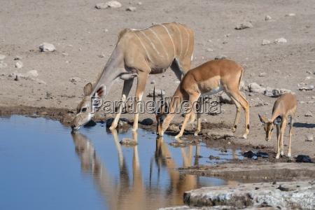 greater kudu female tragelaphus strepciceros and