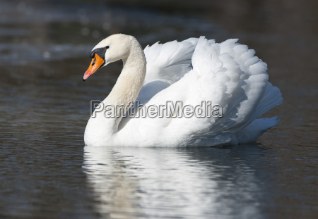 white swan cygnus olor is swimming