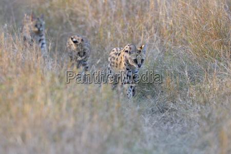 serval familyleptailurus servalserval female with her