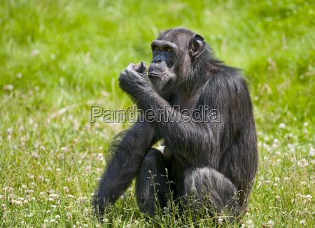 westafrikanischer schimpanse pan troglodytes verus captive