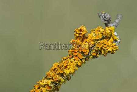 gewoehnliche gelbflechte xanthoria parietina eine blattflechtenart