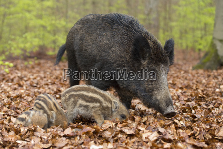 wild boars sus scrofa streams and