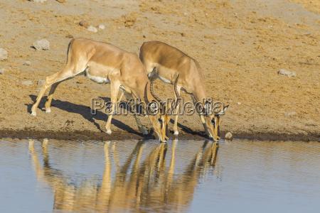 great kudu tragelaphus strepsiceros
