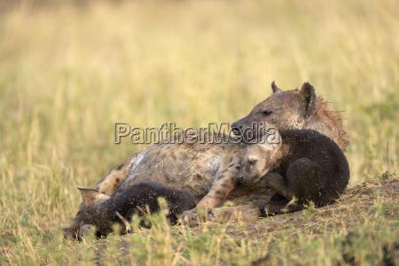 spotted hyena crocuta crocuta female with