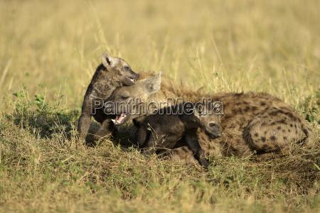 spotted hyenacrocuta crocutafemale with young animalsplayfulnaughtymasai
