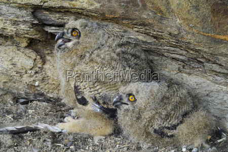 eagle owlbubo bubojuveniles at breeding groundin