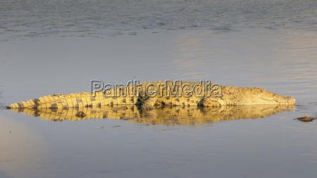 sambia nile crocodile