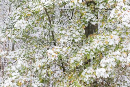fruher wintereinbruch schneebedeckte ahornblatter acer