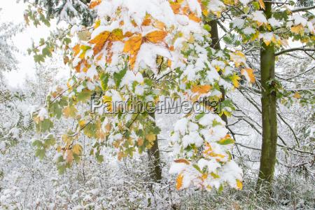 fruher wintereinbruch ahornbaume acer sp