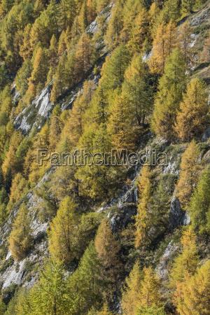 larches larix decidua autumnal mountain forest
