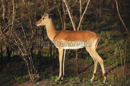 black rumped antelope aepyceros melampus impala