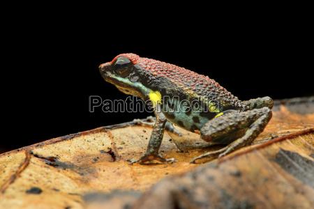 neotropischer zaparo pfeilgiftfrosch allobates zaparo aromobatidae