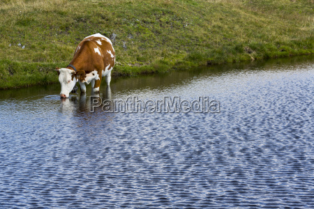 kuhe trinkt in einem bergsee auf