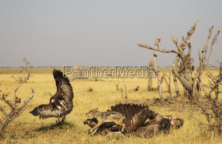 black backed jackal canis mesomelas and