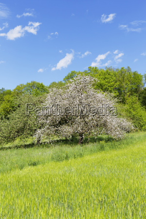blooming apple tree on the main