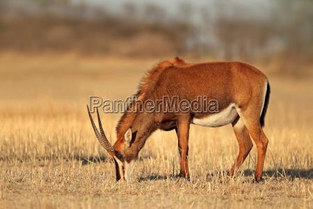 female sable antelope