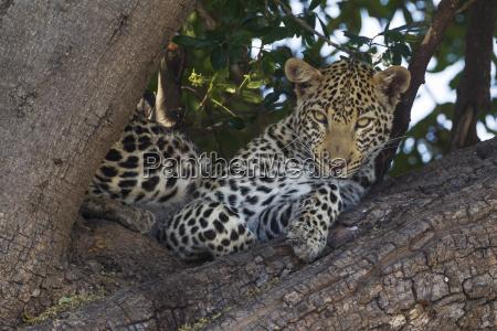 leopard panthera pardus female resting in