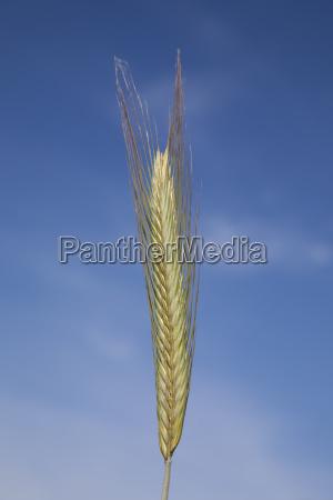 AEhre roggen secale cereale nordrhein