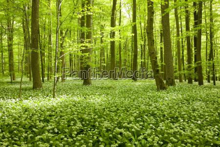 rotbuchenwald fagus sylvatica mit bluehendem baerlauch