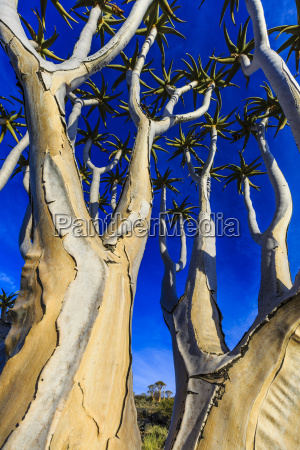 koecherbaum aloe dichotoma koecherbaumwald farm hauchab