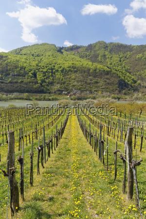 vineyards in springoberarnsdorfwachaulower austriaaustria