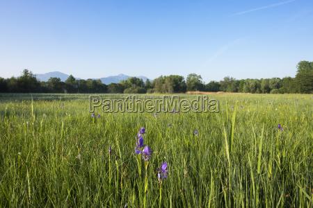 siberian iris iris sibirica on moor