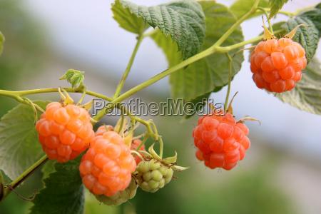 yellow raspberries on the shrub