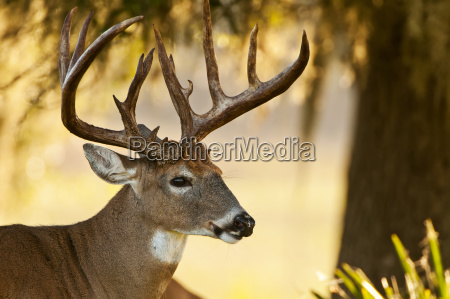 close up of white tailed buck