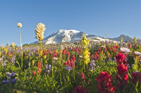 wildflowers in mount rainier national park