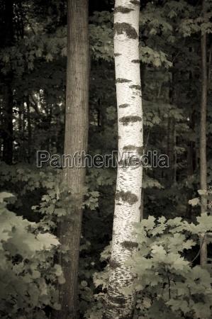 muskokas ontario canadadesaturation image of tree