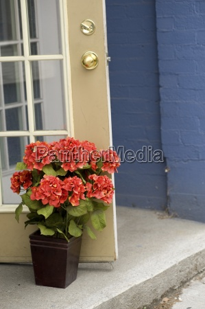 muskokas ontario canadapotted hydrangea propping a
