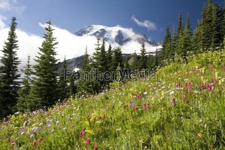 meadow with blooming flowers mt rainier