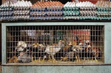 eggs and caged chickens brazil