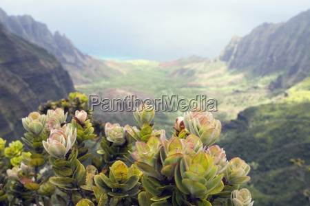 a plant overlooking kalalau valley na