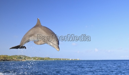 roatan bay islands honduras bottlenose dolphin