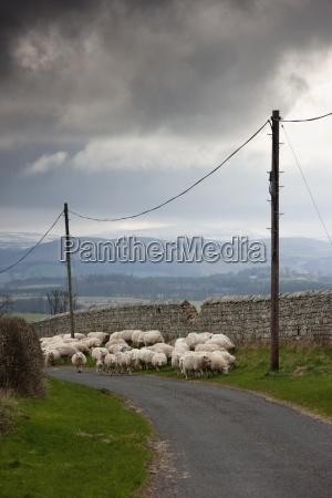 sheep grazing along a road northumberland