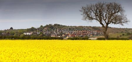 a field of yellow flowers beside