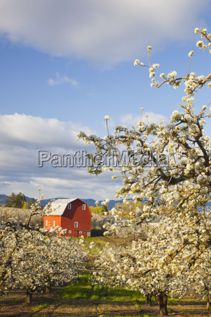 apple blossom trees and a red