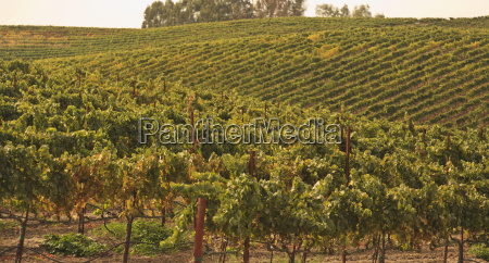 vineyard napa area california united states