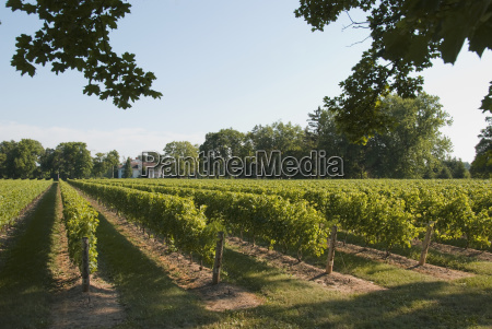 sunlight on a vineyard niagara on