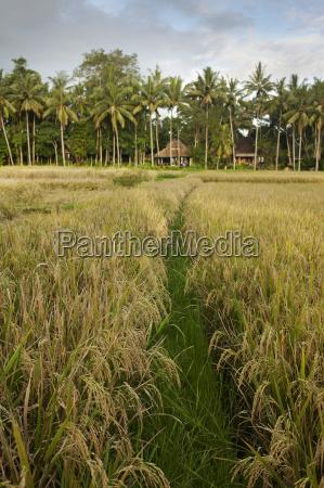 rice fields near ubud bali indonesia